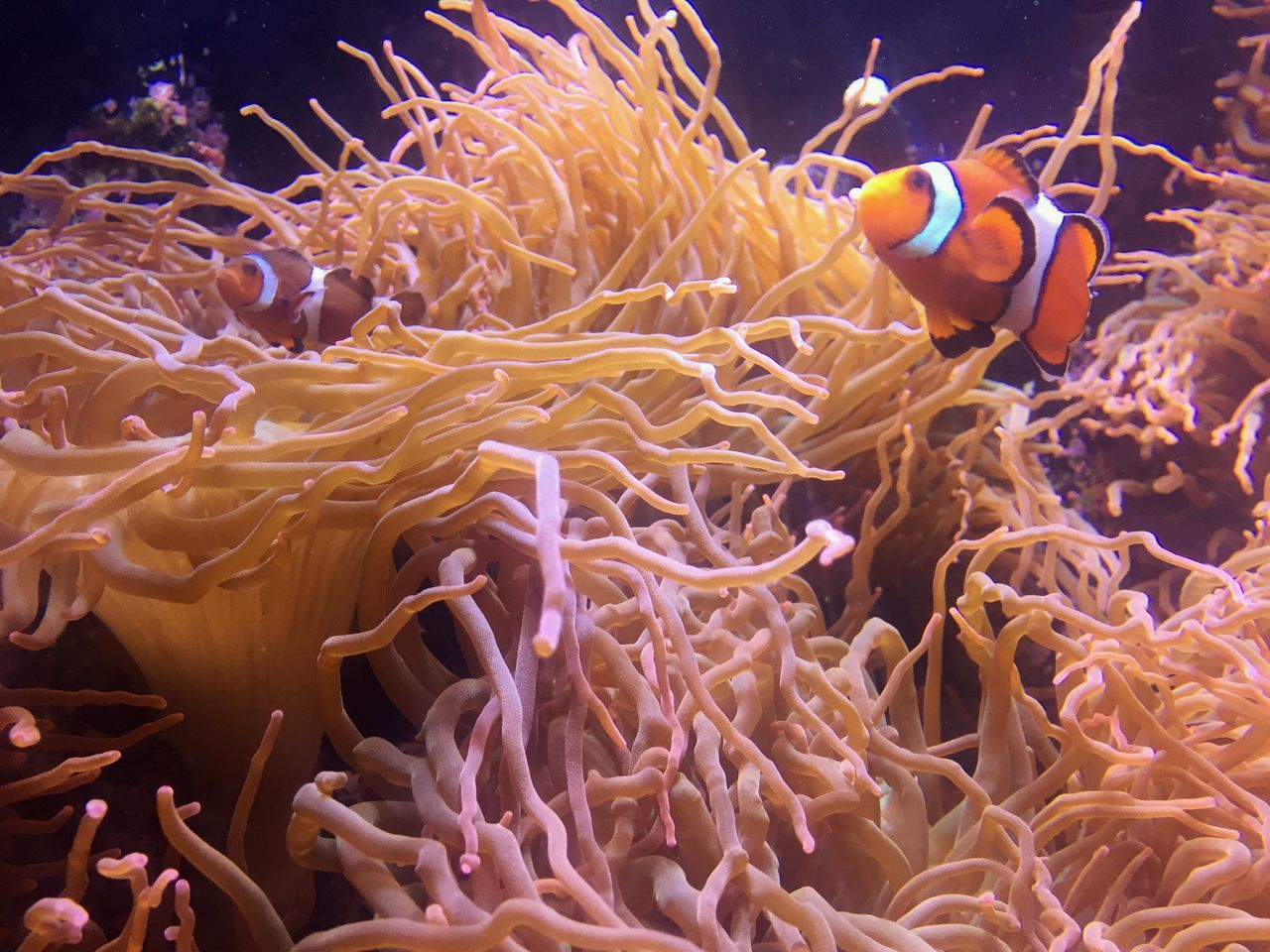 clown fish, underwater, animal themes, fish, sea life, animals in the wild, sea anemone, undersea, sea, no people, animal wildlife, coral, nature, water, swimming, beauty in nature, close-up, outdoors, day