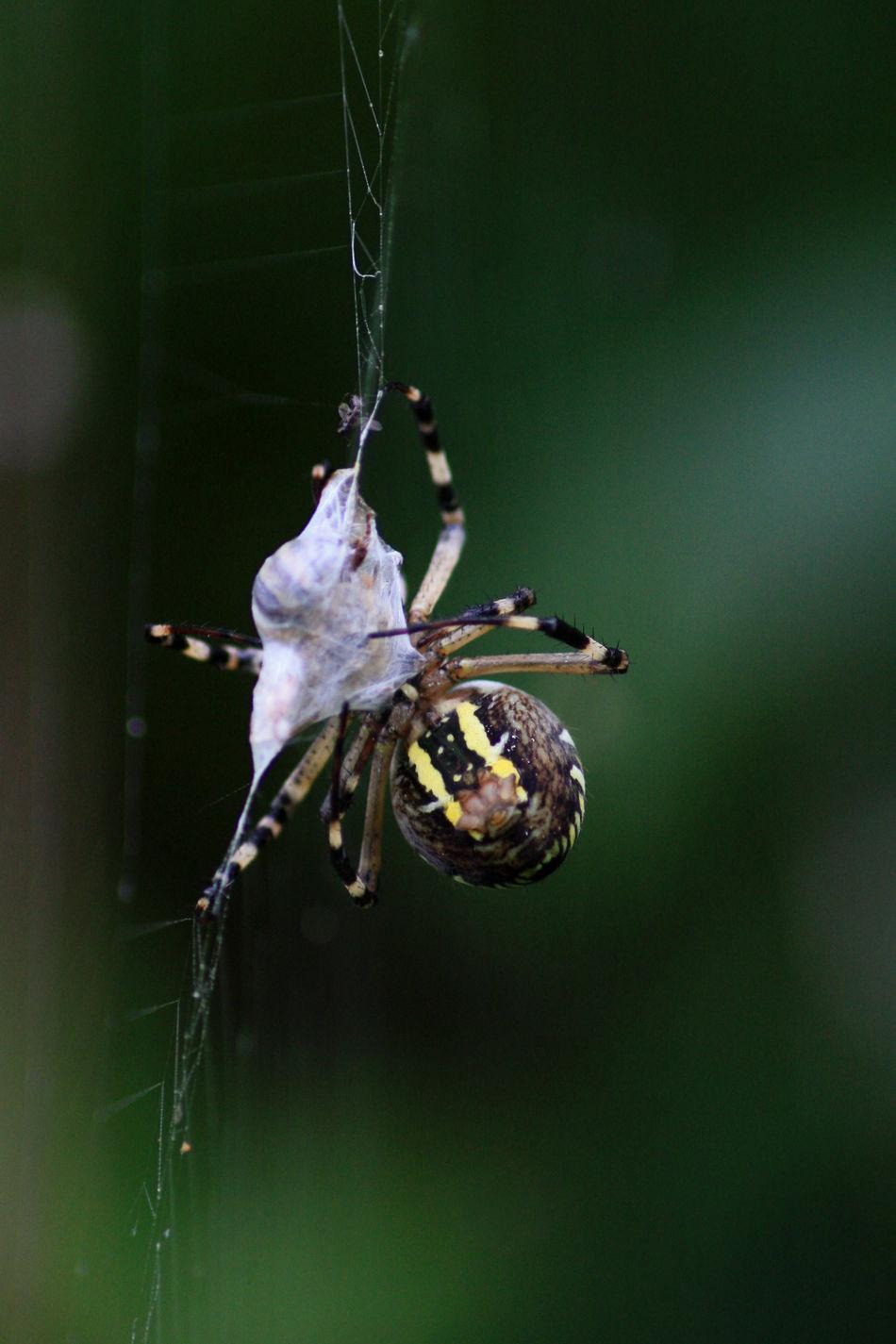 Detail Focus On Foreground Nature Spider Spiderweb Spinne Spinne Fängt Beute Spinnennetz Spinnweben Wespenspinne Wildlife