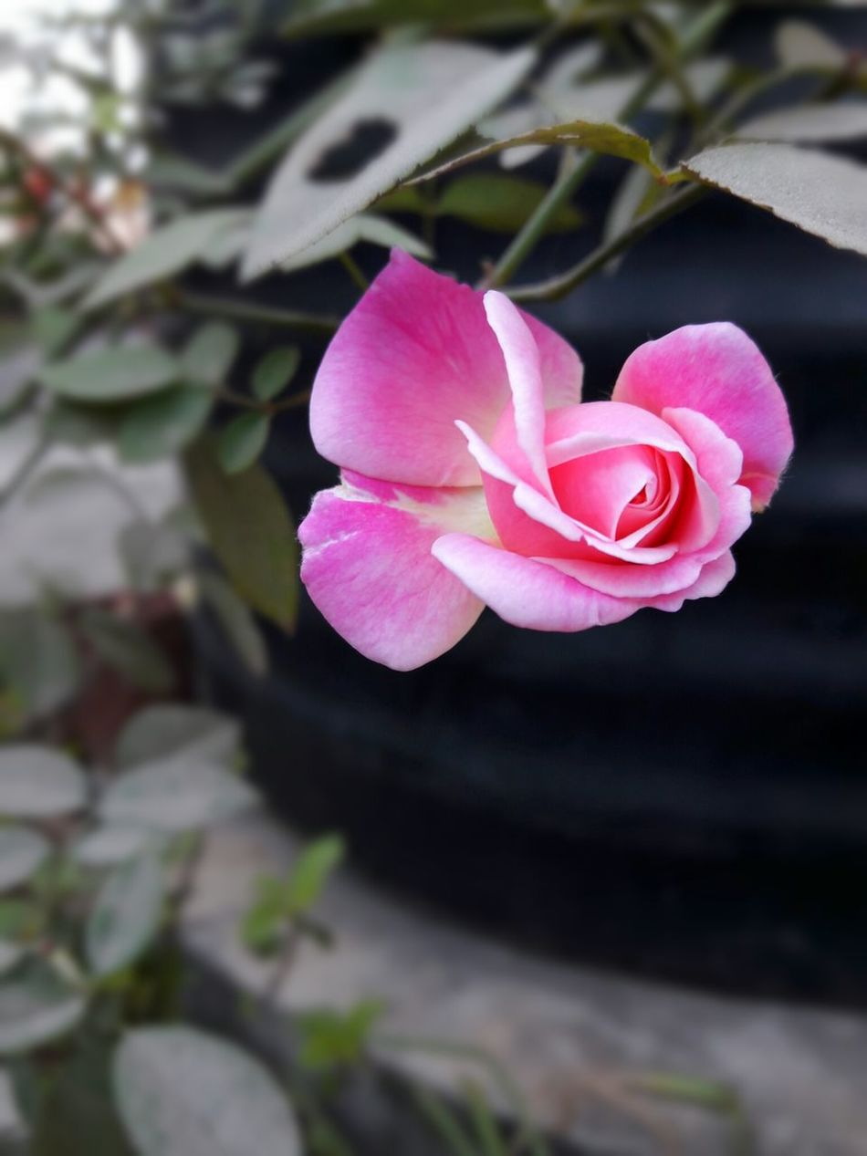 Pink Rose CLick BY ME Jamshedpur Bhubaneswar Beauty In Nature