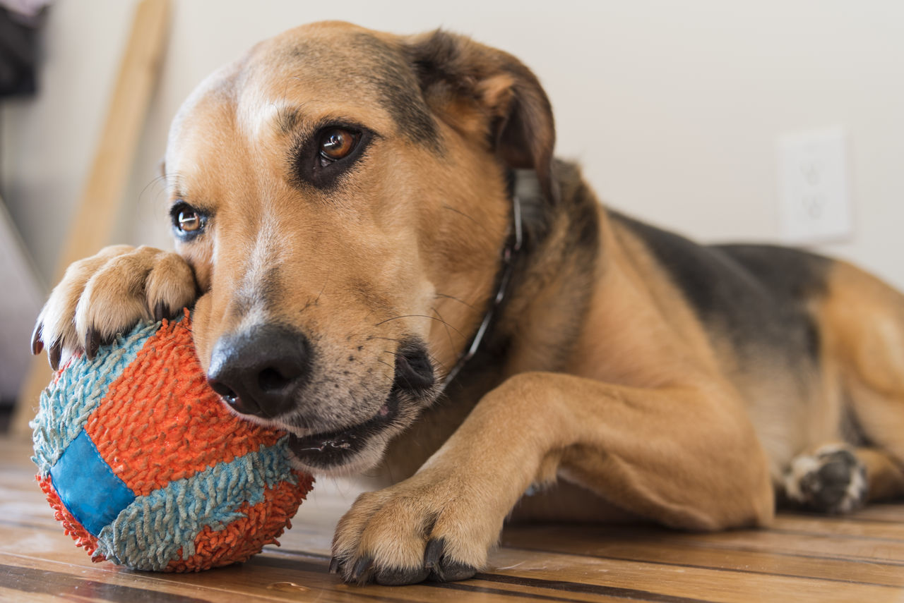 Cute mixed German shepherd chewing on blue and orange toy ball. Adoption Adorable Animal Themes Chewing Close-up Cute Day Dog Domestic Animals Focus On Foreground German Shepherd Indoors  Mammal Mutt No People Paws Pets Portrait Rescue Toy