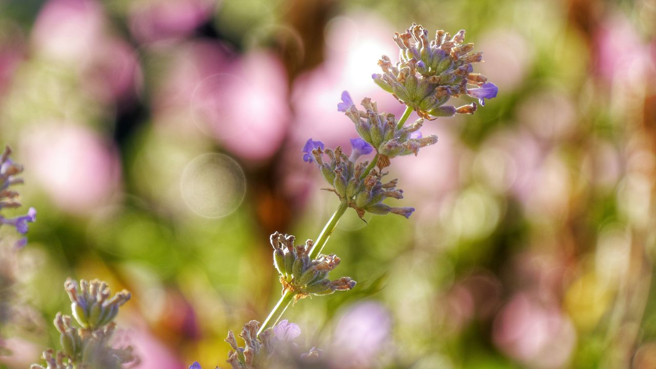 Colors of nature Flowers Flower Collection Softness Soft Pastel  Soft Colors  Pink And Purple Lavender Lavender Blossoms Light Painting Selective Focus Focus On Foreground Stalk Of Lavender Blossom Eyem Gallery EyeEm Gallery Close Up