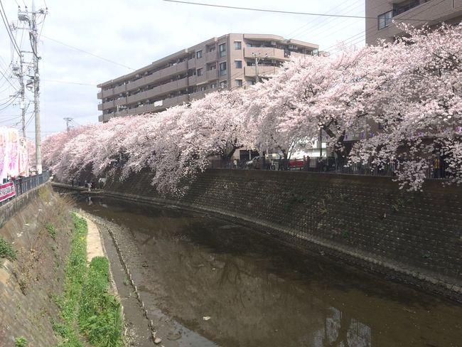 Flowers Nature sakura