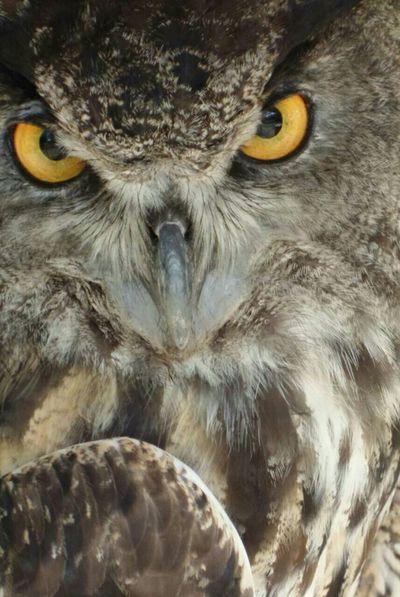 This was at a bird show EyeEm Best Shots - Nature EyeEm Best Shots EyeEm Gallery Owl Owls💕 Owllife Closeupshot Close-up Capture The Moment Owls Owl Art Owl Eyes Bird Birds Bird Photography Bird Of Prey Birds Of Prey