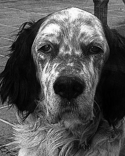 My dog U2 Dog English Setter My Dog