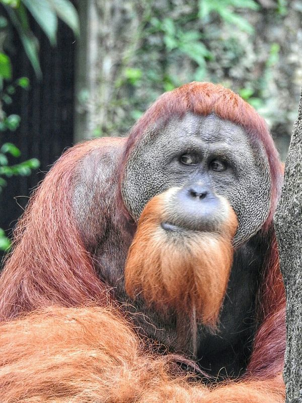 Orangutans Orangutan Check This Out Singapore Zoo EyeEm Best Shots Eye4photography  EyeEm Best Shots - Nature Save Orangutan EyeEmBestPics Eyeemphotography