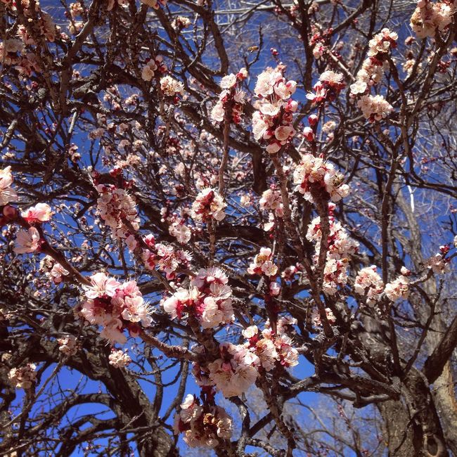 Ancient Apricot Swarming with Blossoms and Bees! GE's Santa Fe Diary Trees Apricot Blossoms Dreaming Spring Bees Happy Haiku