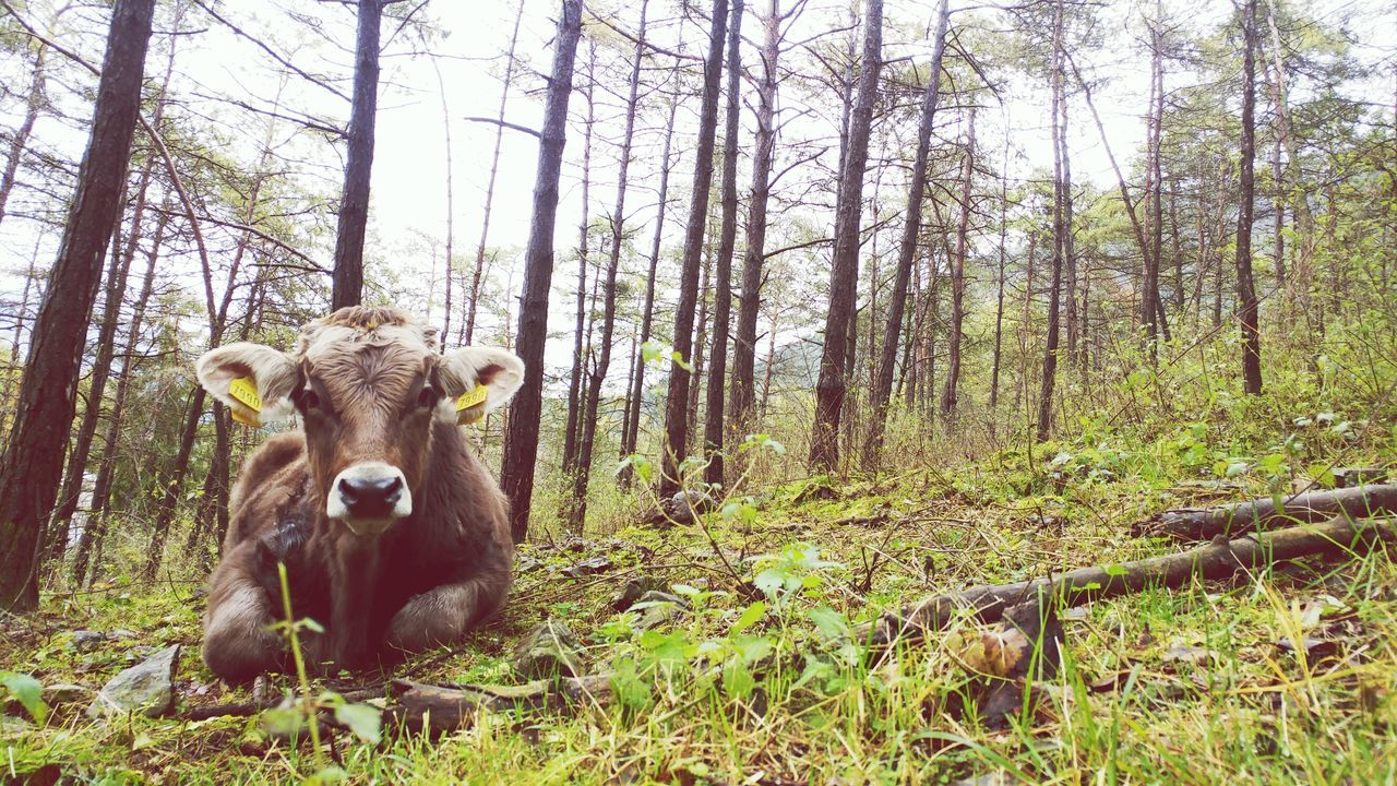 The Week On EyeEm cow Animal Themes Outdoors Mammal Nature Tree Beauty In Nature Low Angle View Emiliano Perani Wood - Material Forest Animals In The Wild Growth No People Day Sky Italia Ponte Nossa Holy Mountain