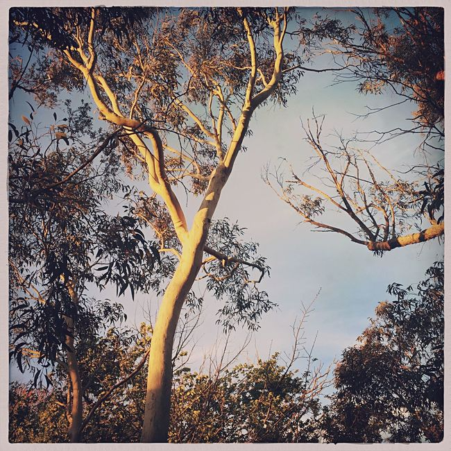 Hipstamatic IPhoneography Nature Trees