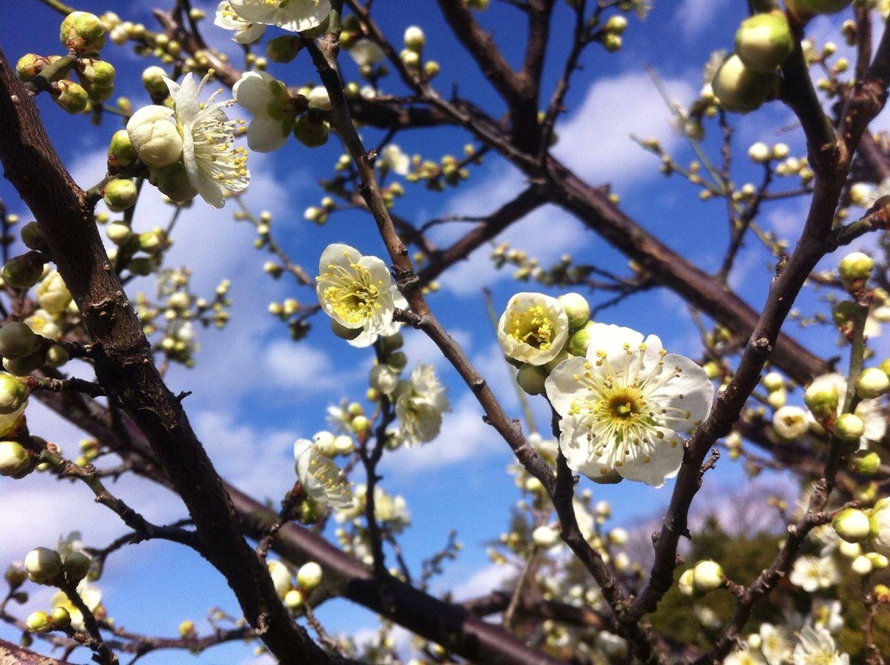 青空に梅の花もいいよね
