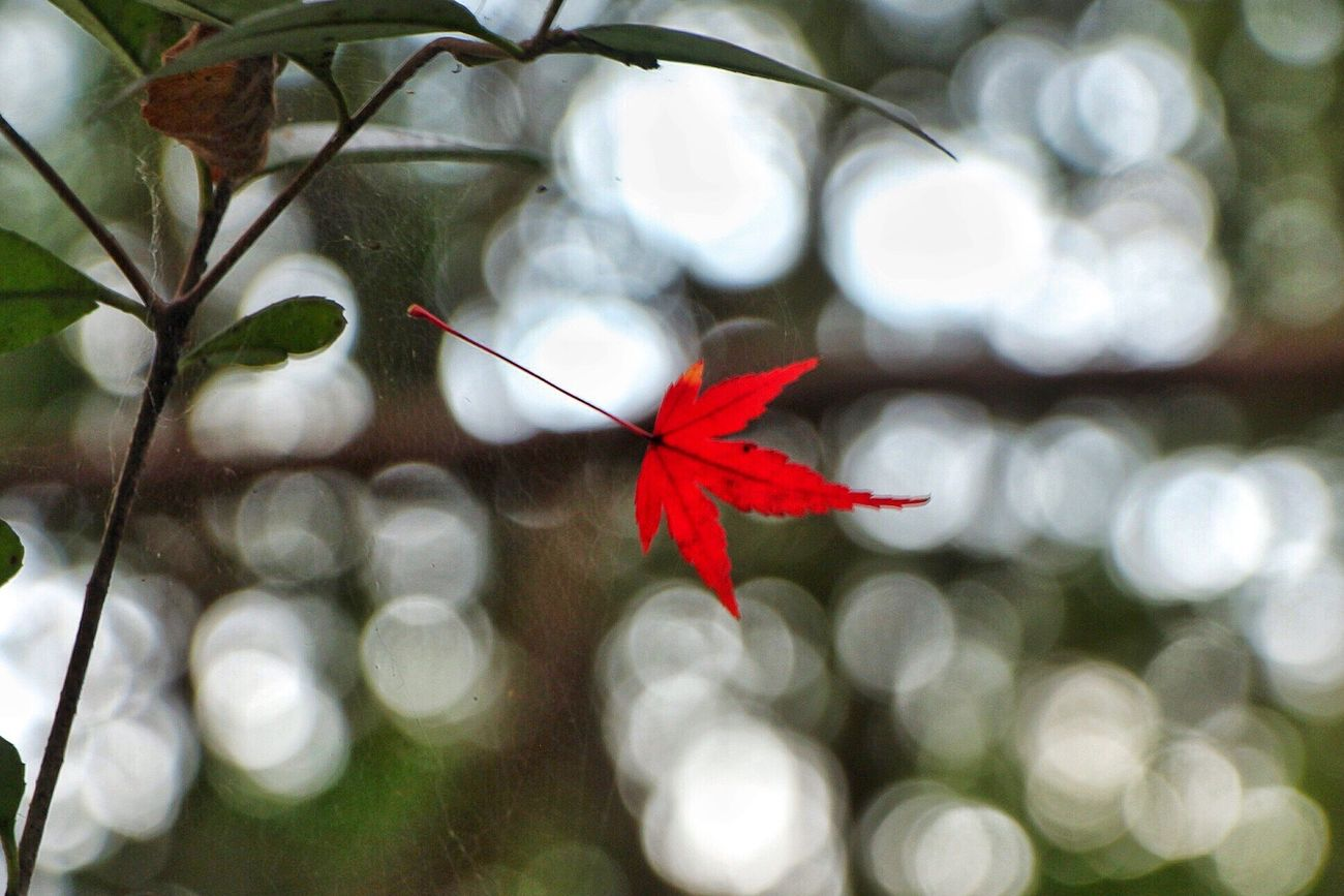 Red Leaf Plant Maple Leaf Autumn Beauty In Nature Nature Autumnal Tints
