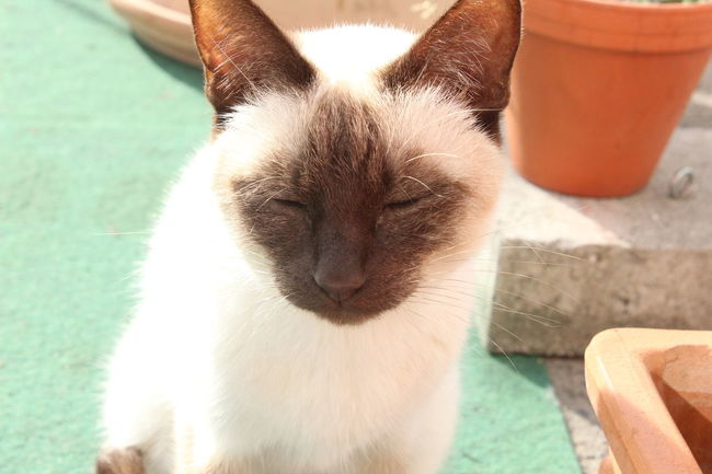 Bright Cat Cat Watching Cats Domestic Animals Domestic Cat Friendly Happy Nofilter Outdoors Outside Pet Pets Relaxed Relaxing Siam Siamcat Siamese Siamese Cat Siamesecat Siamesecats Sleepy Sleepy Cat Summerfeeling Sunset