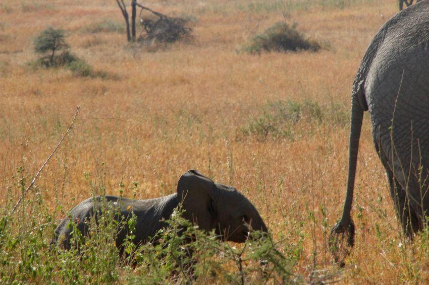 Africa African Elephant Baby Elephant Elephant Calf Elephant Tail Grass Grassy Landscape Mother And Baby Elephant Nature Non-urban Scene Safari Serengeti Serengeti National Park Serengeti, Tanzania Tanzania Tranquil Scene Tranquility Young Elephant