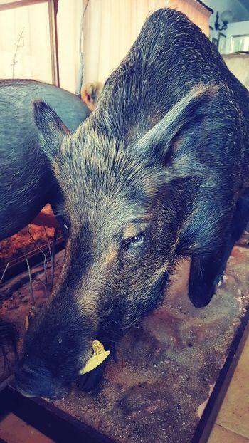 Close-up No People Wild Boar
