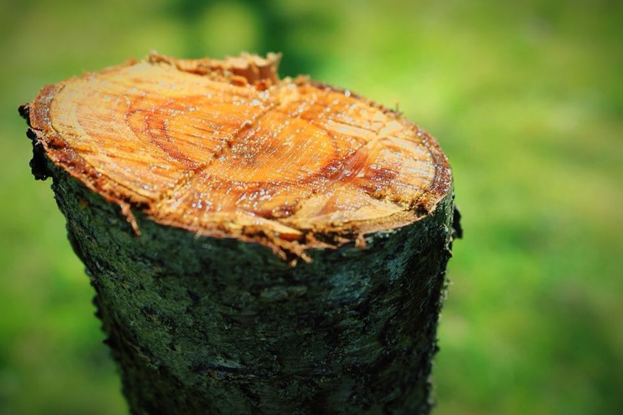 focus on foreground, close-up, no people, nature, tree trunk, day, tree stump, outdoors, tree ring, tree