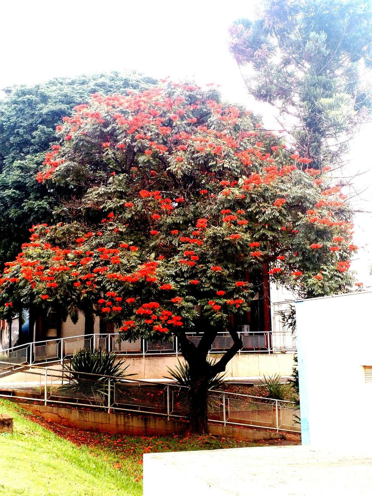 Day Tree Flower In TreeBeauty In Nature Freshness Flower Red Unicamp Nature Simplcity Normal Day