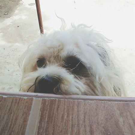 Peek-a-boo 🐩😻 ChaCha First Eyeem Photo