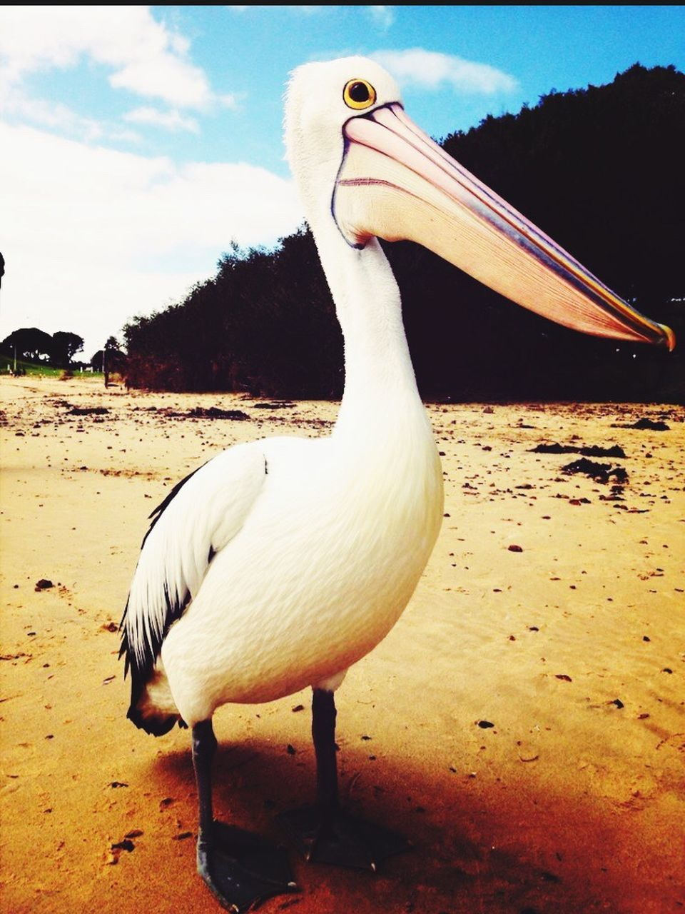 one animal, animals in the wild, animal themes, bird, nature, day, no people, beach, sky, sand, outdoors, beauty in nature, pelican, water, close-up