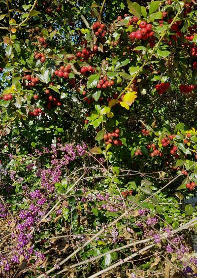 Growth Nature No People Tree Day Green Color Outdoors Beauty In Nature Backgrounds Freshness Close-up Berries Textured  Berry Trees Brilliant Colors Autumnbeauty Autumn Berries