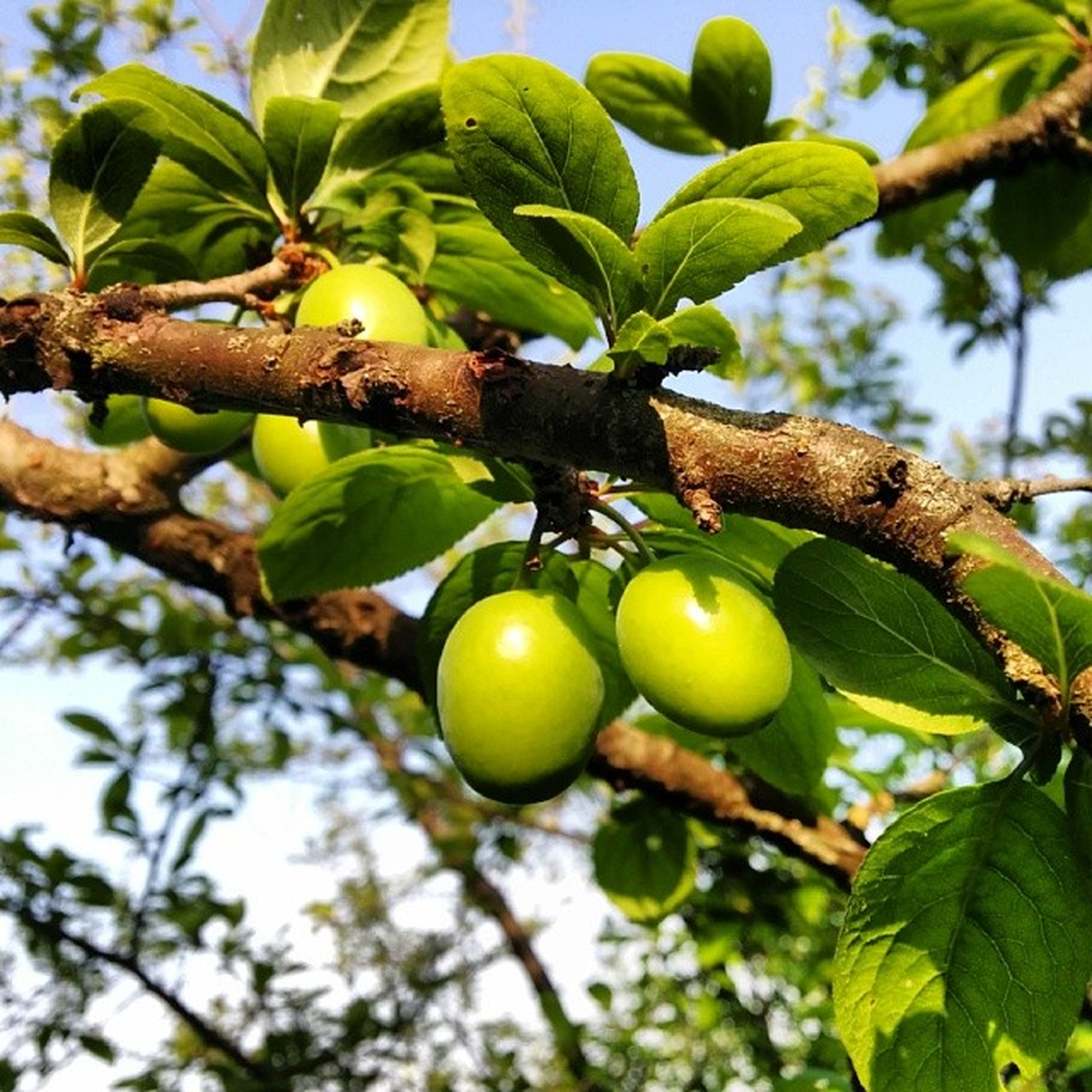 fruit, food and drink, tree, branch, food, healthy eating, green color, leaf, growth, close-up, freshness, hanging, focus on foreground, nature, ripe, low angle view, day, unripe, outdoors, no people