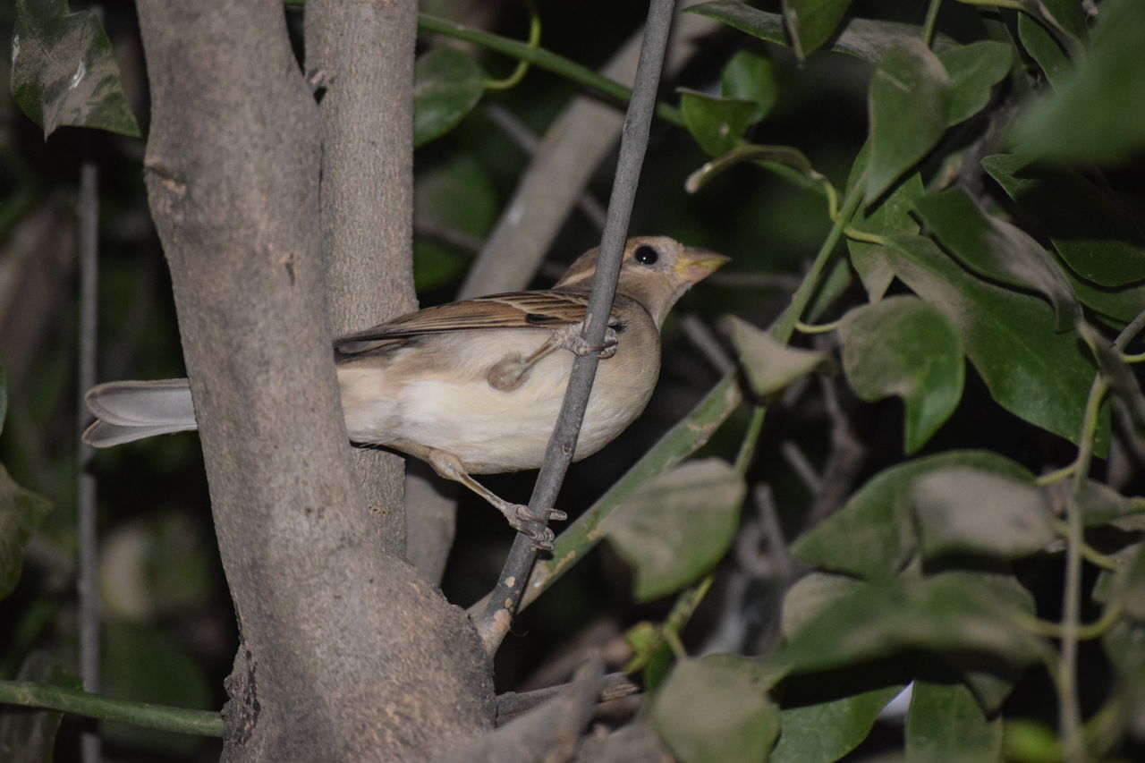 Dusk photography of female sparrow One Animal Animal Themes Bird Nature Tree Perching Beauty In Nature NIKON D5300 EyeEm Eyeem Market Eyeem Photography Eyeemphotography Nikon Photography EyeEm Gallery EyeEm Vision Sparrow, Bird, Feathers, Tweet, Bush Branches, Brown, Sitting, Still, Sparrow On A Branch Sparrow In A Tree Sparrow Outdoors No People