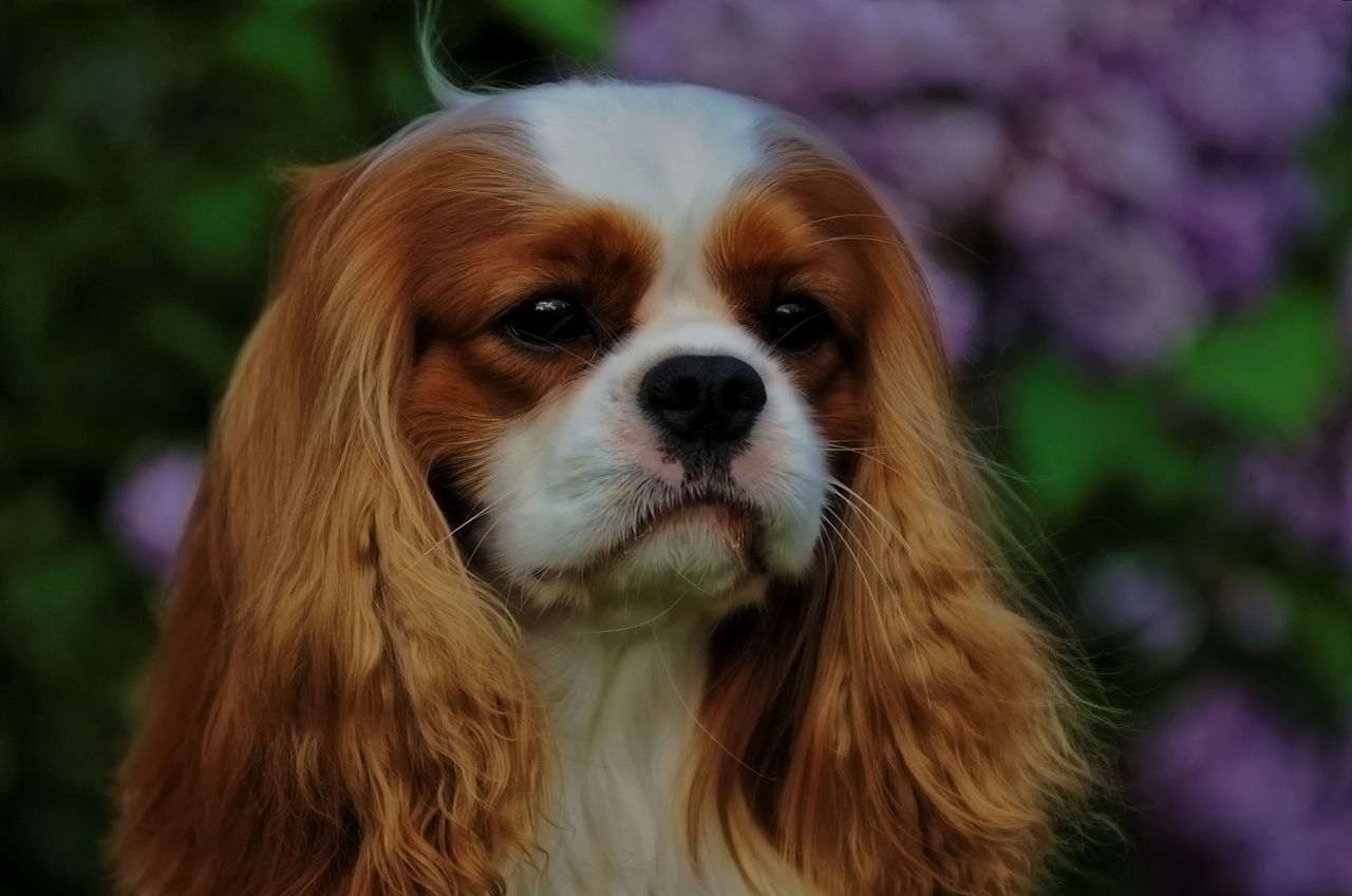 Abundance Animal Animal Themes Brown Cavalier King Charles Spaniel Champion Ckcs Close Up Close-up Comfortable Curiosity Dog Domestic Animals Focus On Foreground Full Frame Home Indoors  Large Group Of Objects Leo No People One Animal Relaxing Zoology