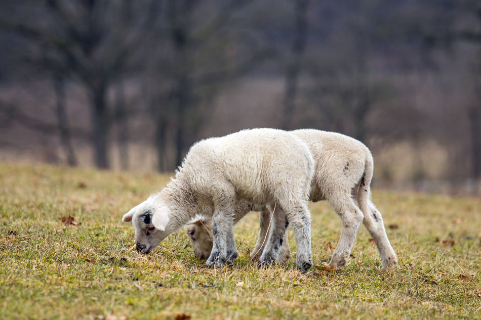 Animales Animals Campo Cordero Feld Field Grass Lamb Lambs Lamm Meadow Natur Naturaleza Nature Outdoors Oveja Ovejas Prado Schaf  Schafe Sheep Sheeps Tiere Wiese  Wildlife