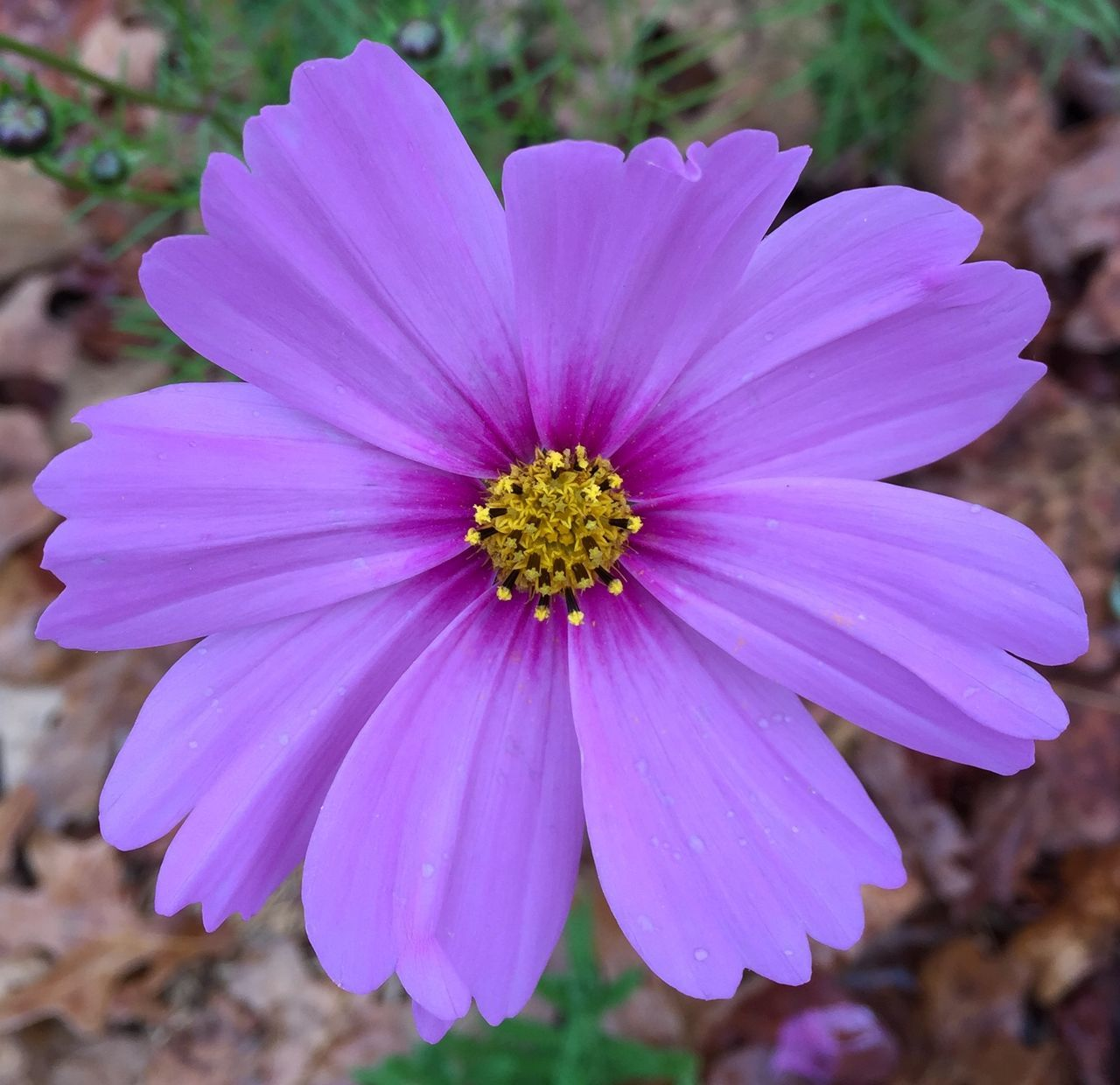 Purple Flower Flower Showcase: February USA ShotOniPhone6 Tennessee Macro Photography Macro_flower Flowers Cottage Garden  Garden Pink Flower Cosmos Altamont Tennessee Pastel Power Nature's Diversities