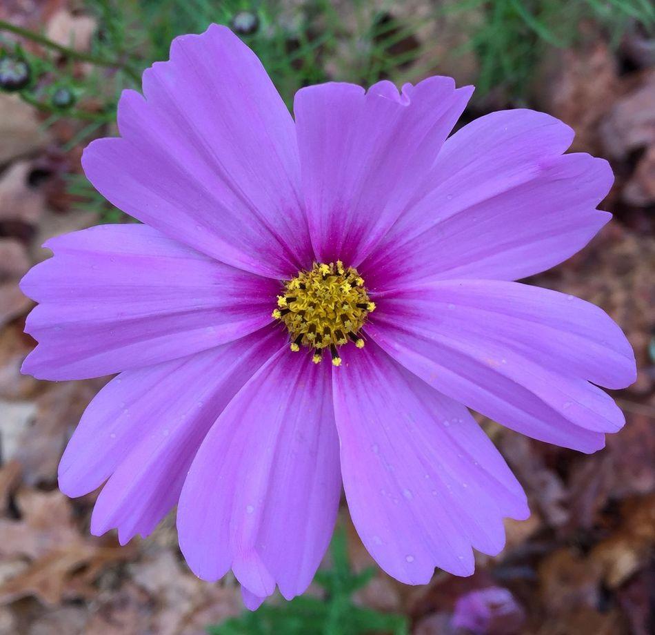 Purple Flower Flower Showcase: February USA ShotOniPhone6 Tennessee Macro Photography Macro_flower Flowers Cottage Garden  Garden Pink Flower Cosmos Altamont Tennessee Pastel Power Nature's Diversities