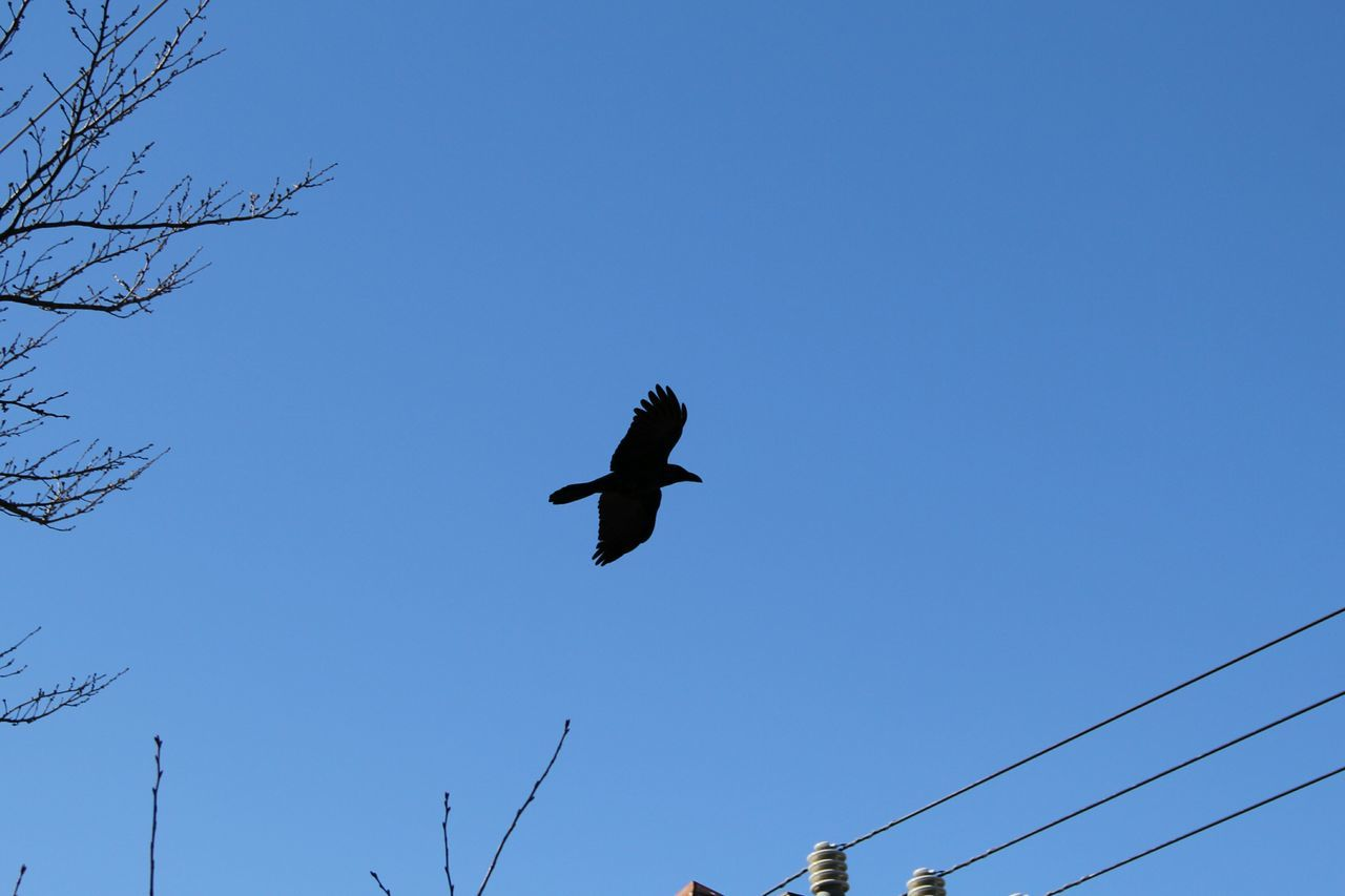 bird, flying, wildlife, clear sky, low angle view, nature, animals in the wild, spread wings, blue, no people, outdoors, animal themes, day, sky