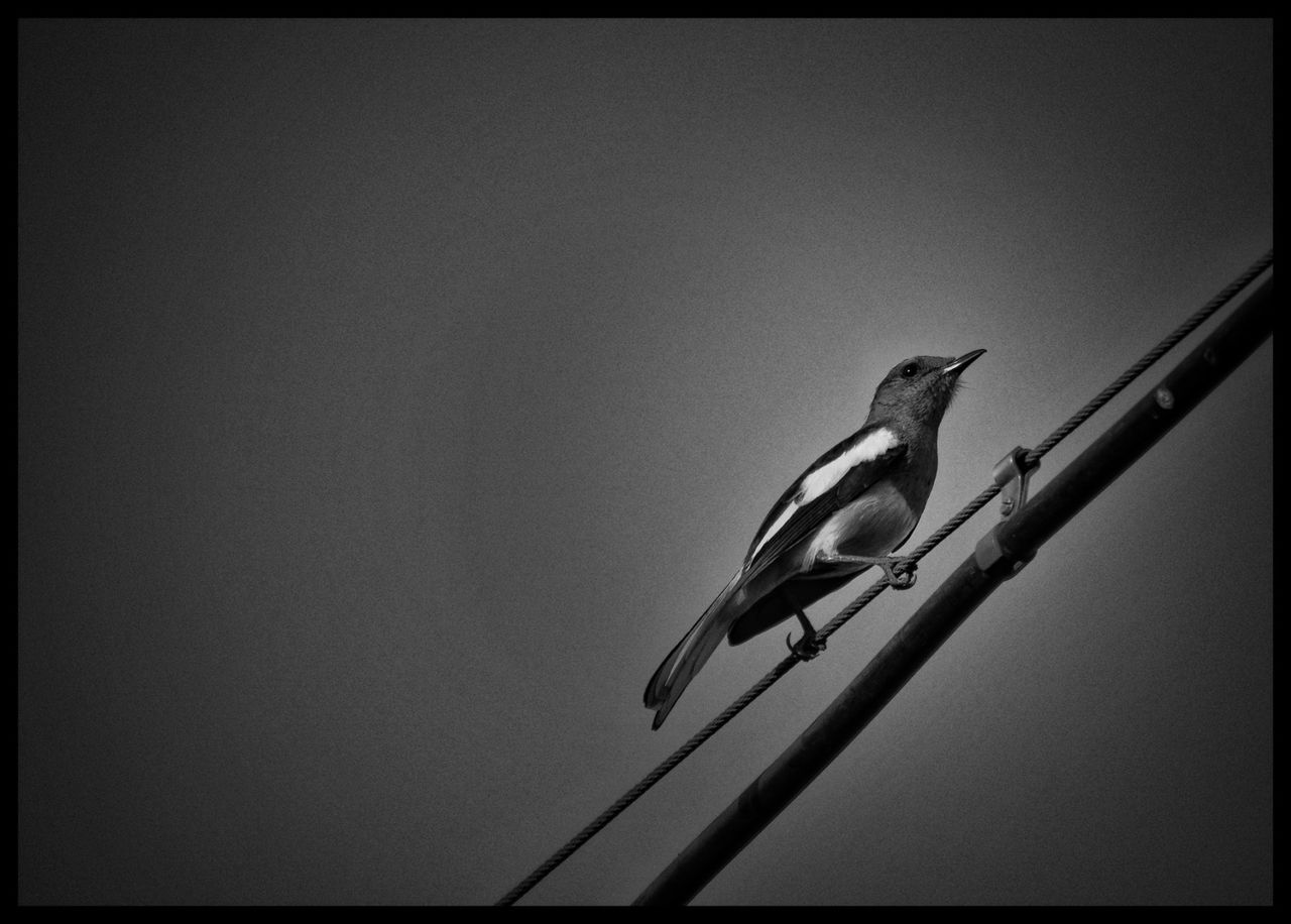 Animals In The Wild Bird Animal Wildlife Nature Perching Outdoors Day No People Animal Themes One Animal Memories EyeEmNewHere India Beauty Nature Birdporn Tiny Bird Monochrome Monochrome Photography Black And White Black And White Photography High Definition