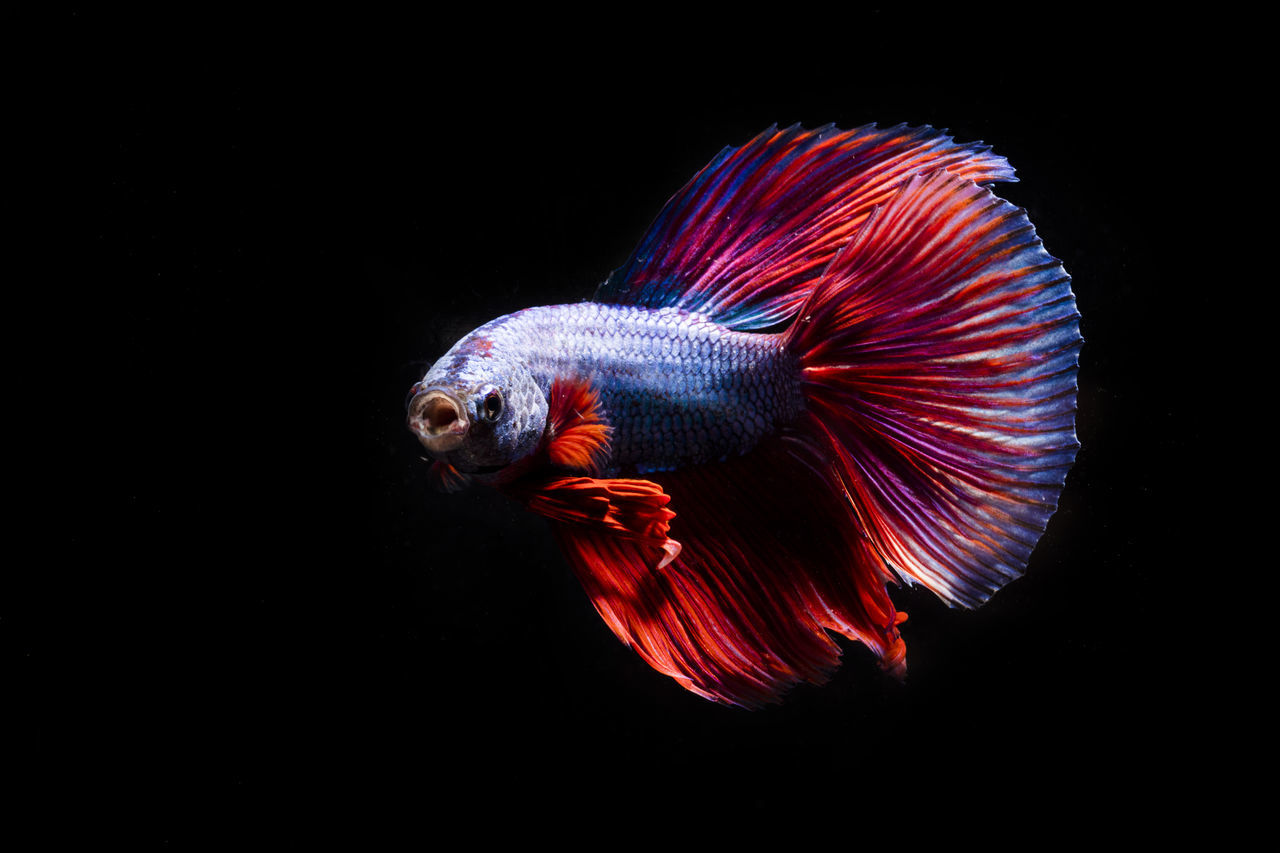 Fighting fish Animal Animals Beauty In Nature Betta  Betta Fish Black Background Blue Close-up Dark Fighting Fish Fish Multi Colored Natural Pattern Nature Pet Red Studio Shot Market Reviewers' Top Picks