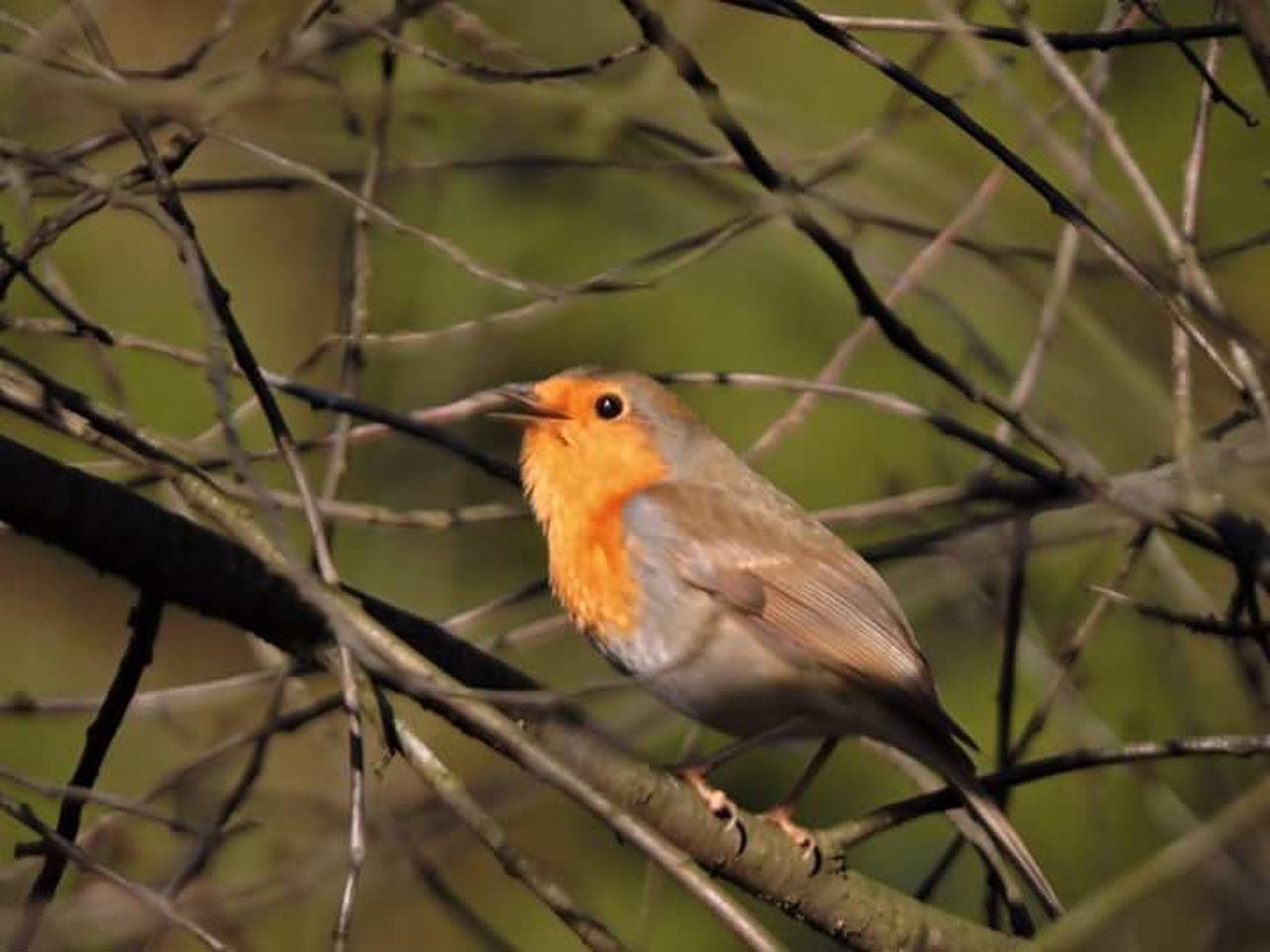 One Animal Bird Animal Themes Branch Animal Wildlife Nature Animals In The Wild Beauty In Nature No People Robin Perching Outdoors Close-up Day