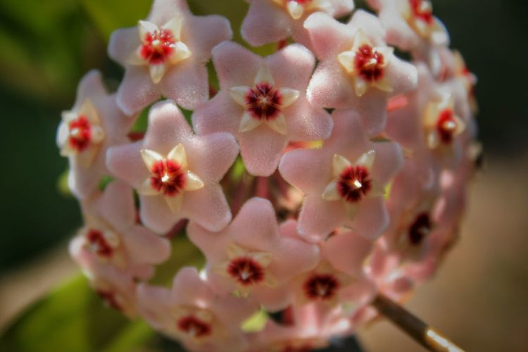 Star Flower Wax Plant Hoya Carnosa Flowers Sunlight And Shadow No People Outdoors Spring Light And Shadow Close-up Plant Plants Garden Nature Blooming Selective Focus Star Flowers Showcase April