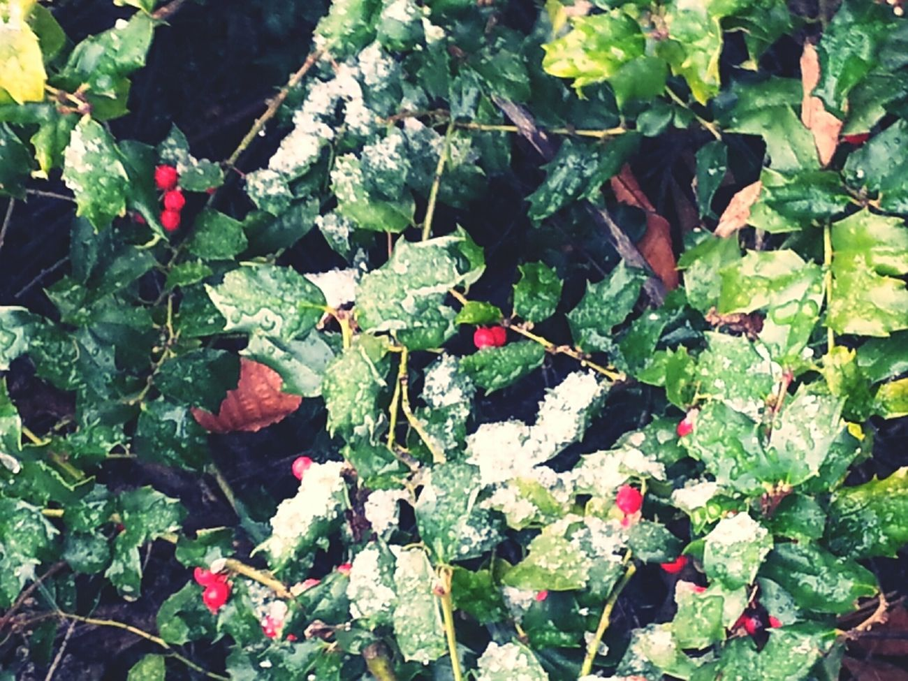 Green Leaves Snow Outdoors Frost Winterfoliage