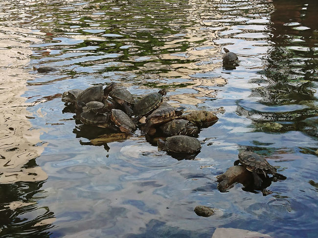 Water Reflection Day No People Close-up Guayaquil Guayaquil - Ecuador Guayaquil, Ecuador Ecuador♥ Sunlight Gye Turtles Swimming Turtle Cuteness Turtle 🐢