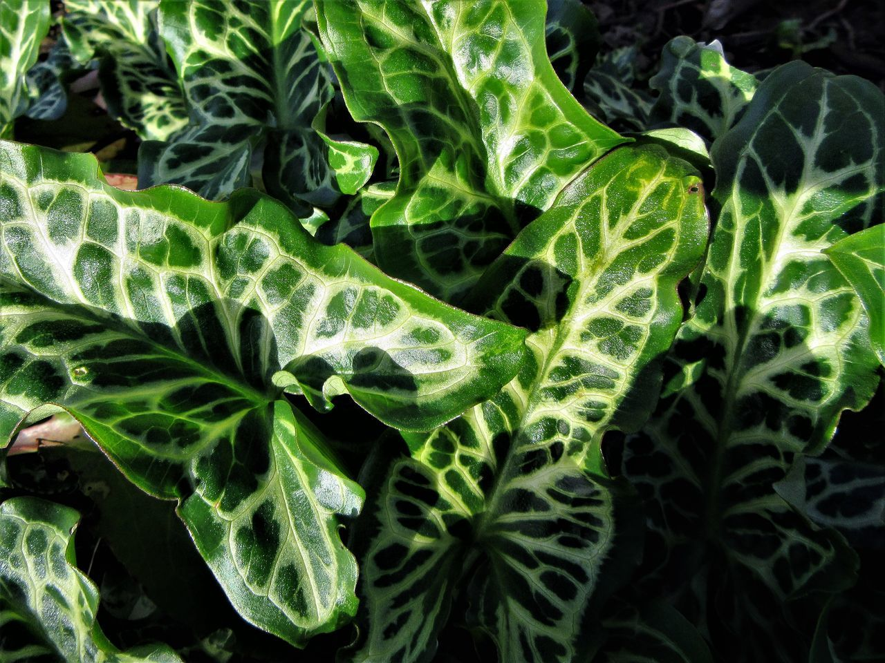 Arum italicum pictum leaves Arum Arum Italicum Pictum Backgrounds Close-up Freshness Full Frame Green Color Growth Leaf Nature Outdoors Plant Variegated Variegated Leaves