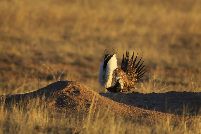 Sage Grouse Birds Animals Wildlife Bird Photography Feathered Friends EyeEm Best Shots United States Utah Canon 5d Mark Lll Feathered Beauty Fine Art Nature Bestoftheday Grouse Lek I Hope My Pictures Touch Your Hart Animals In The Wild Birds Of EyeEm  Birdwatching Eye4photography  Canon