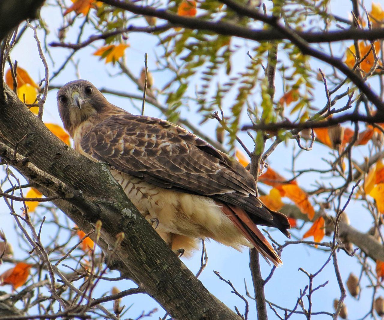 Beautiful stock photos of hawks, Animal, Animal Themes, Avian, Bird