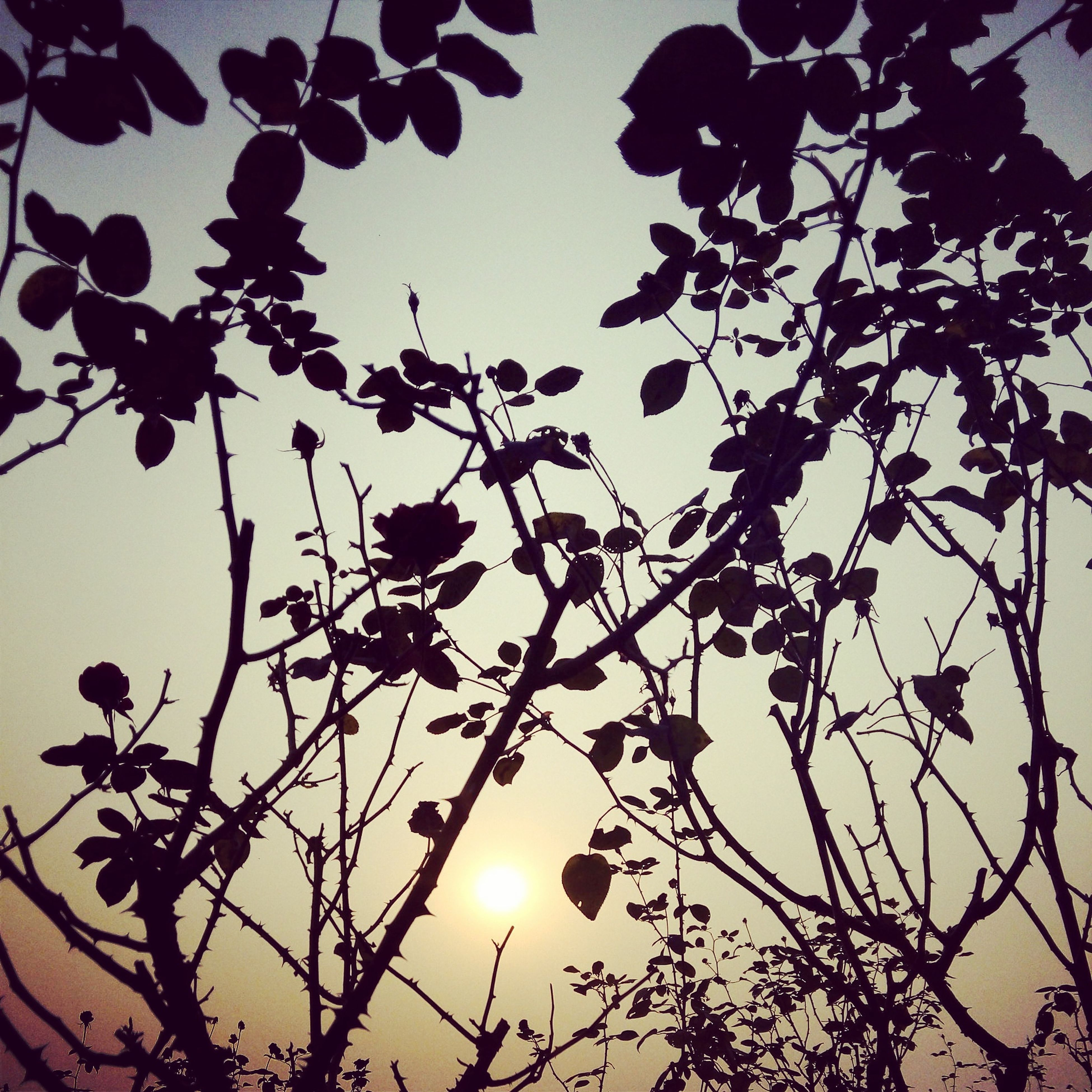 low angle view, branch, silhouette, tree, sun, sunset, sky, nature, growth, beauty in nature, leaf, outdoors, tranquility, no people, twig, sunlight, bare tree, dusk, high section, orange color