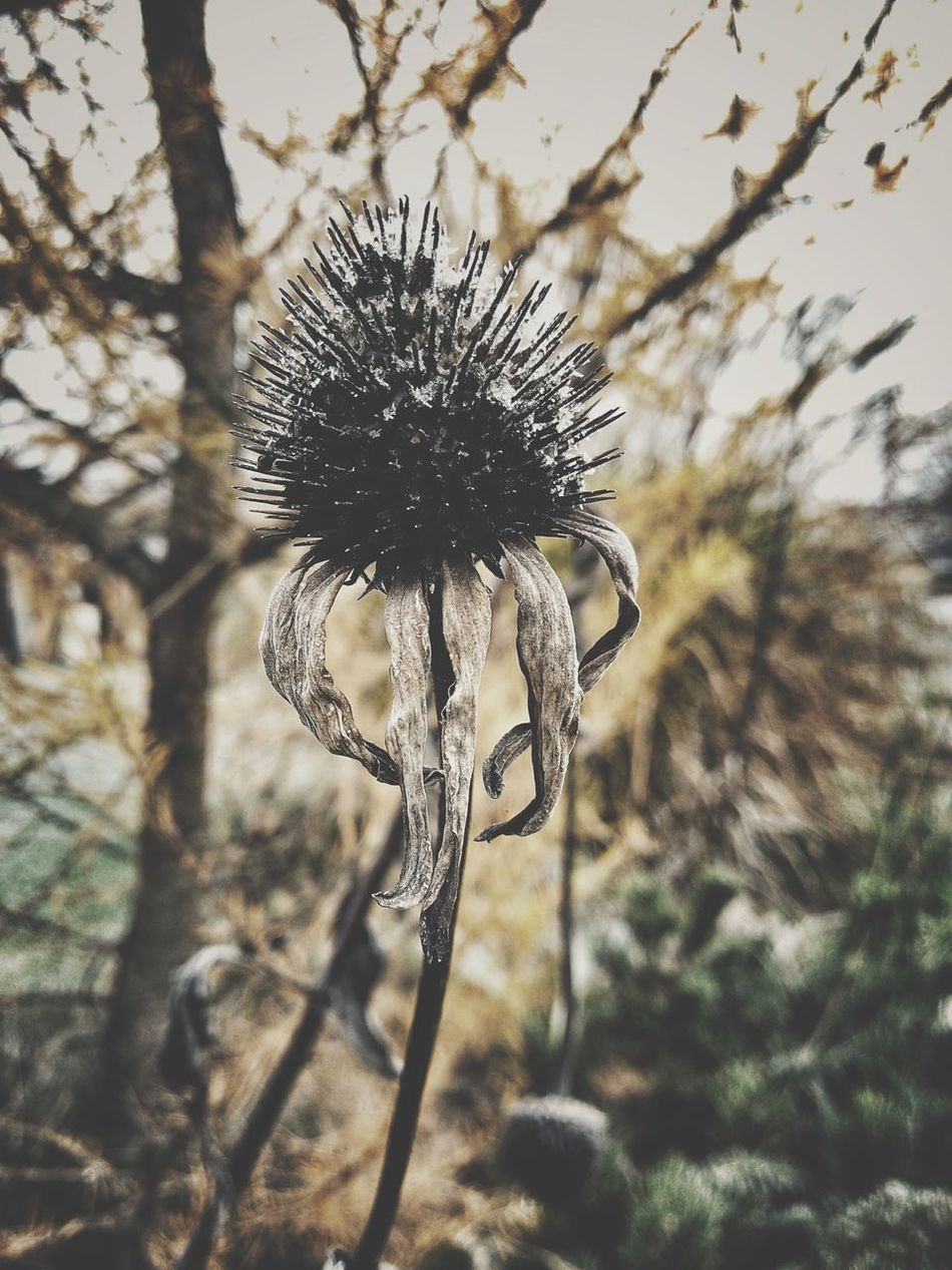 Echinacea Echinacea Purpurea Autumn Faded Beauty Melancholic Nature Close-up Plant Beauty In Nature Sunlight Outdoors Thistle Growth Spiked No People Day Dried Plant Flower Flower Head