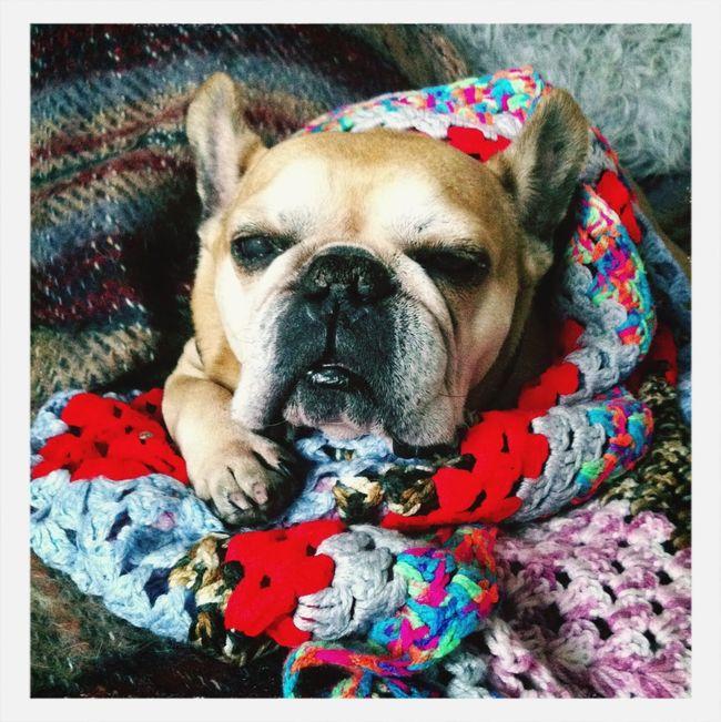 またみんな一緒だね。 We are together again! French Bulldog My Dog Relaxing