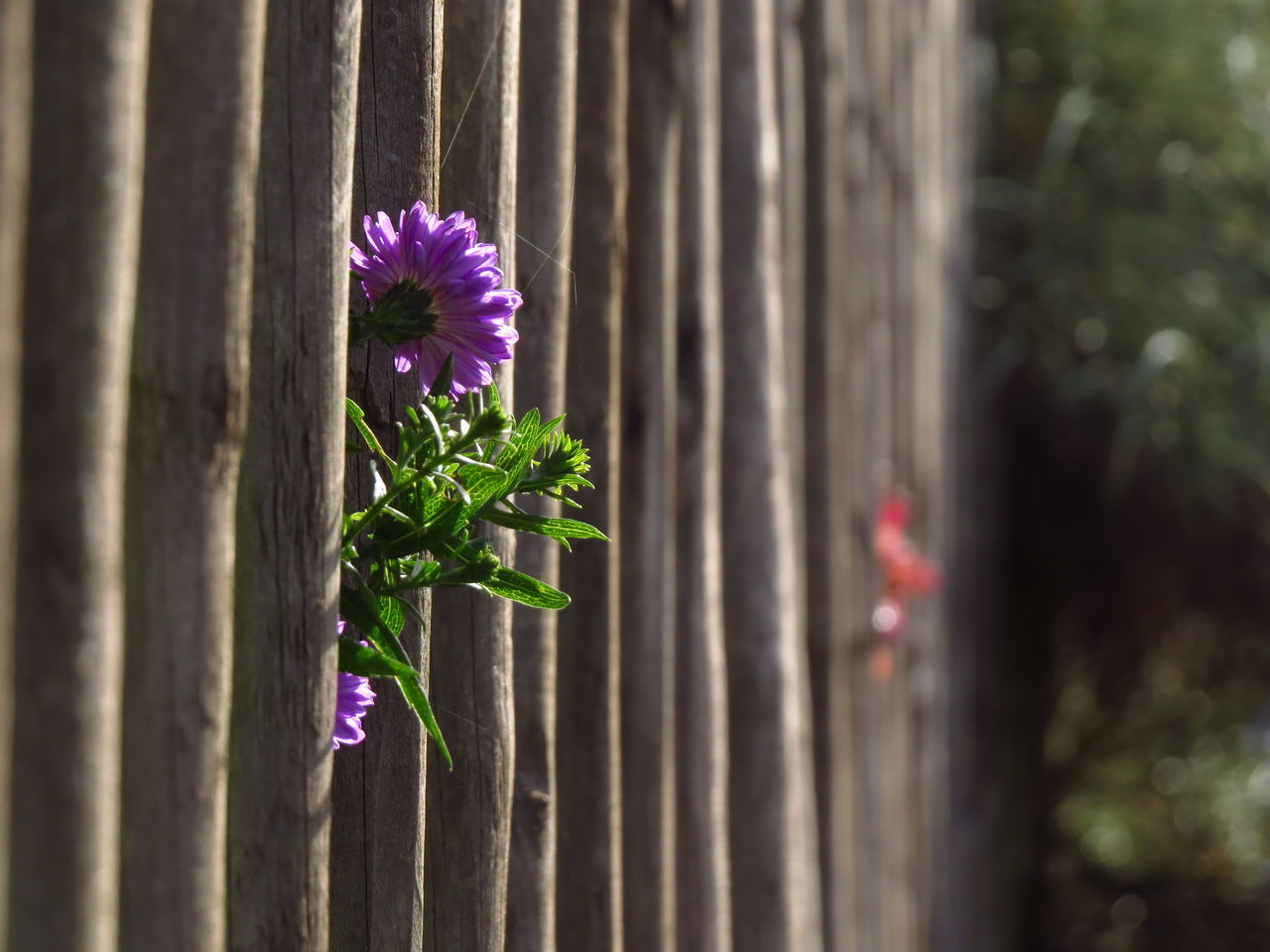 Awakening Beauty In Nature Bloom Blooming Breaking Down Fences Close-up Fence Fences Flower Flower Head Fragility Garden Fence Growth Nature Peeking Picket Fence Plant Purple Spring Suburbia Through The Fence Towards The Sun Wood Material Wooden Wooden Fence