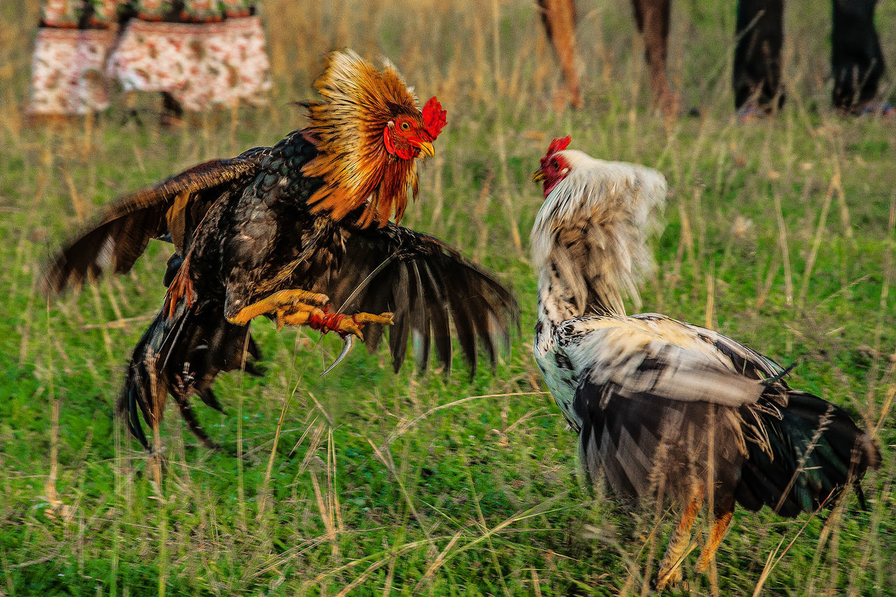 Beautiful stock photos of rooster, Aggression, Animal Themes, Bird, Chicken - Bird
