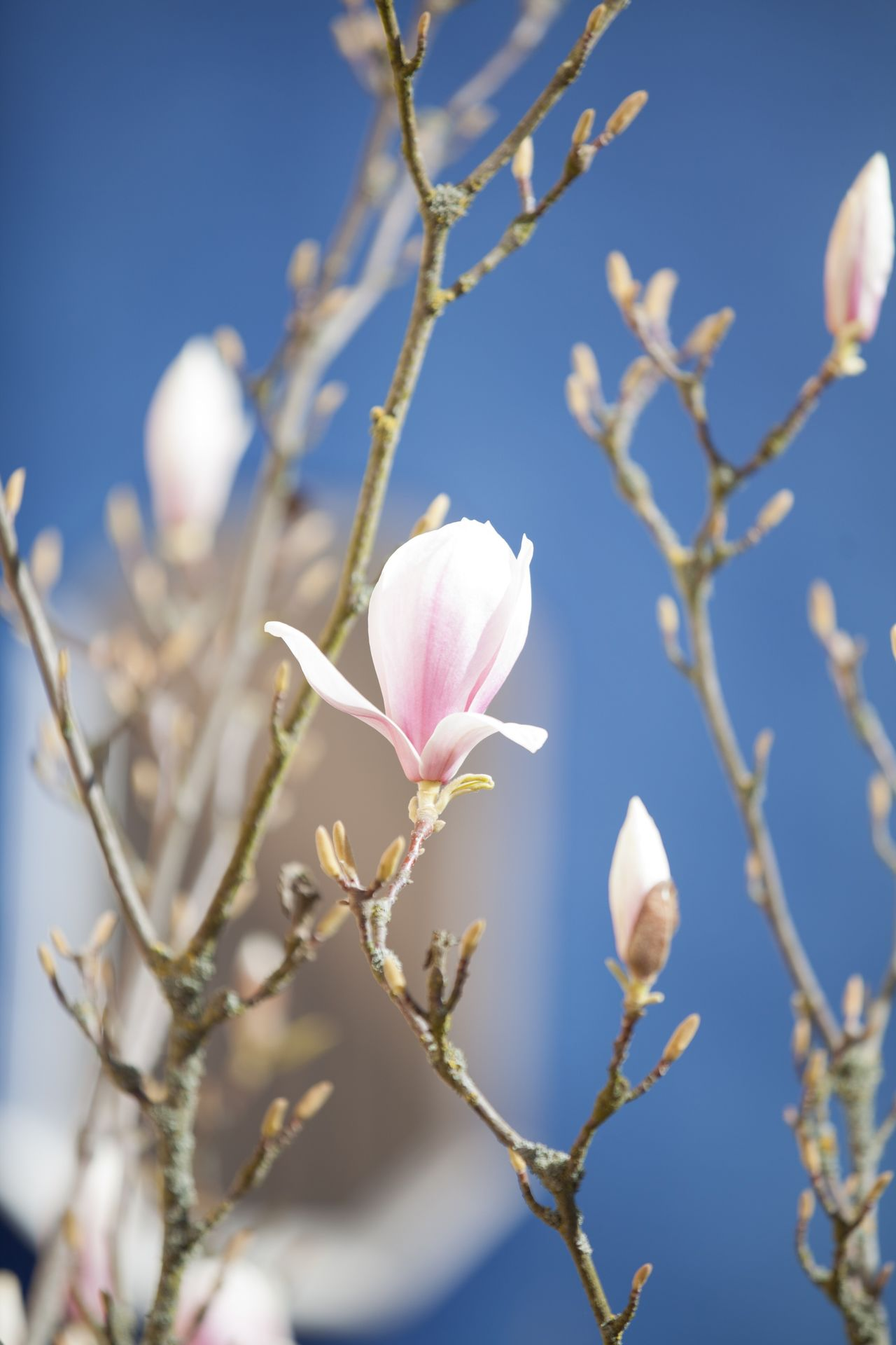 Beautiful stock photos of magnolie, Blue, Close-Up, Day, Detail