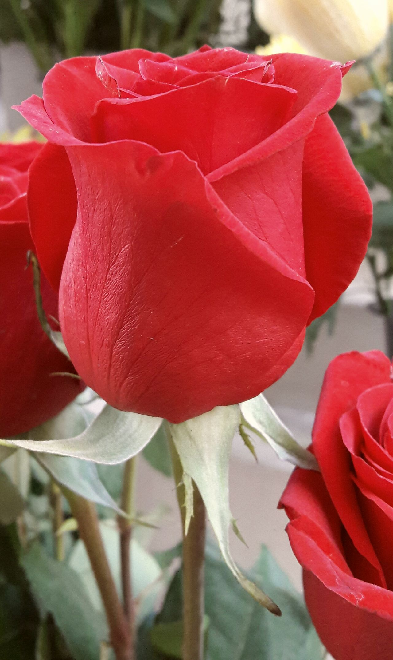 Flower Red Fragility Nature Petal Beauty In Nature Flower Head Close-up Plant Growth Freshness No People Outdoors Day Flowers Nature Red Color EyeEm Gallery EyeEm Best Shots Flower Collection Roses Rose🌹 Rose Petals Roses Flowers  Roses Flowers  Red Rose Red Roses Red Flowers