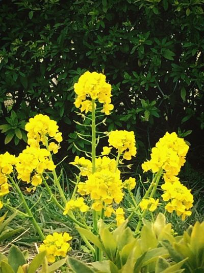 京都 梅小路公園 菜の花