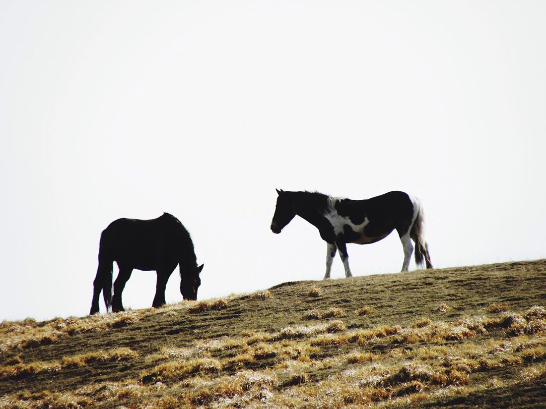 Animal Themes Beauty In Nature Horse Horses (null)Two Horses Wild Horses Profile Hilltop Field Couple Couple - Relationship Mammal Clear Sky Nature Livestock Full Length No People Low Angle View Landscape Beauty In Nature Sky Outdoors Day Togetherness Pet Portraits