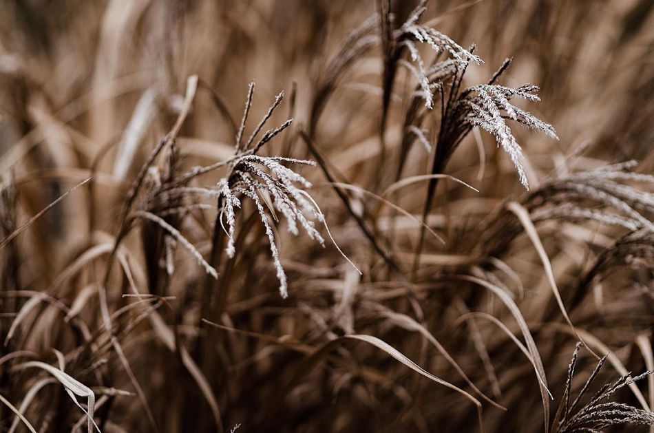 Too late Dry Nature Close-up Plant Cereal Plant No People Dried Plant Agriculture Outdoors Wilted Plant Timothy Grass Wheat Grass Day Plant Flower Flower Collection Environment Ecosystem  Beauty In Nature Growth Fragility Nature Cold Winter