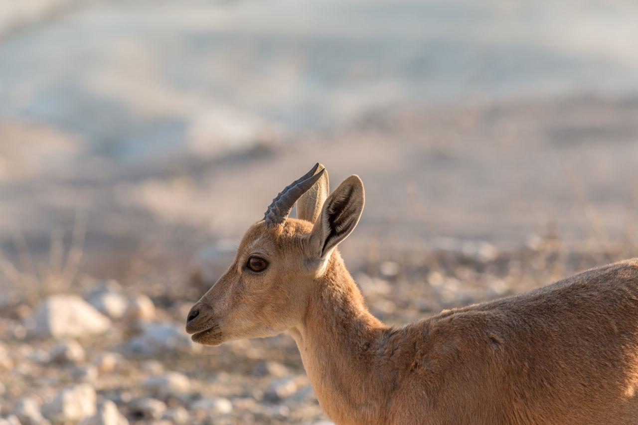 Animal Themes Animals In The Wild Arid Climate Desert Desert Beauty Desert Life Horned Ibex Israel Nature One Animal Outdoors Sde Boker Sdeboker