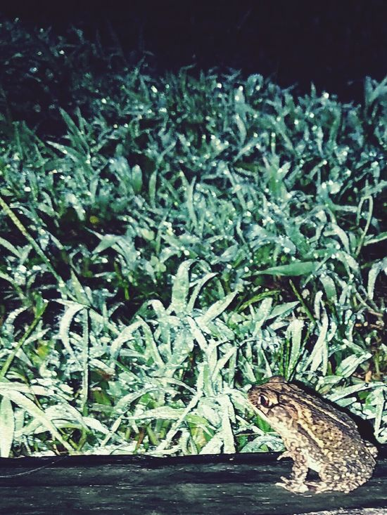 Toad Texas Toad Country Life Nature Dew Dew Drops Raw Land Grass Dirt Green Wood Wet Rainy Night 4am Nature Photography Nature_collection Nature On Your Doorstep Nature Never Sleeps Naturelovers The Great Outdoors - 2016 EyeEm Awards